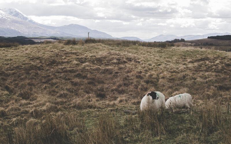Ovelhinhas escocêsas