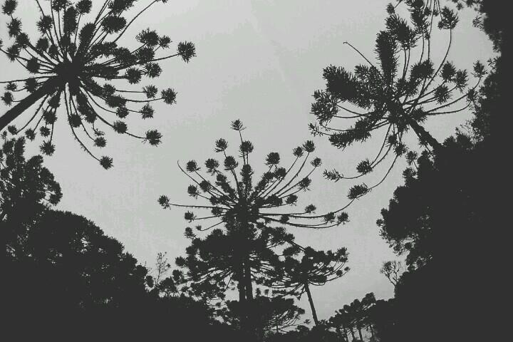 Araucárias, Cambará do Sul